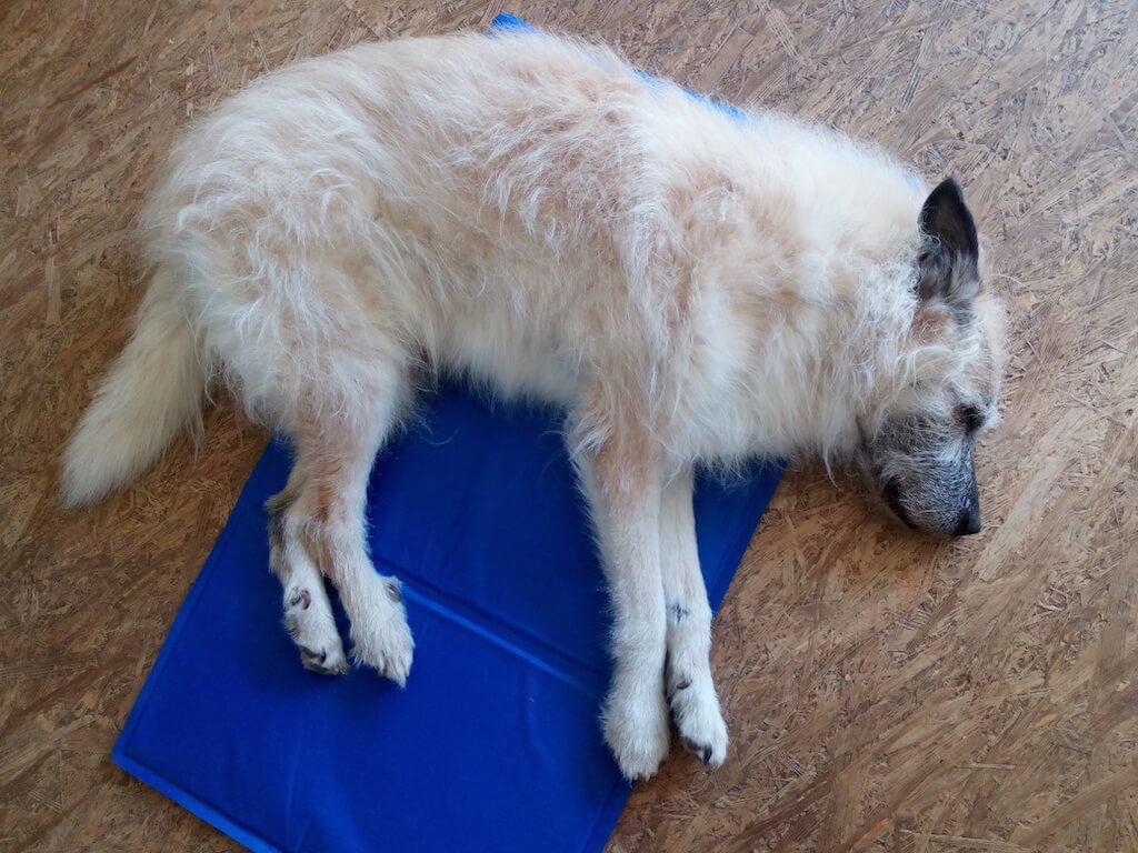 Ein weißer Hund liegt auf der Seite auf einer blauen Kühlmatte auf einem Holzfußboden