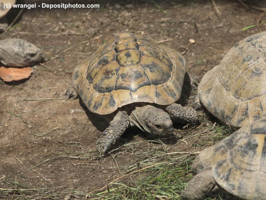 Mehrere Breitrandschildkröten (Testudo marginata) in Gruppenhaltung auf Erd-/Grasuntergrund