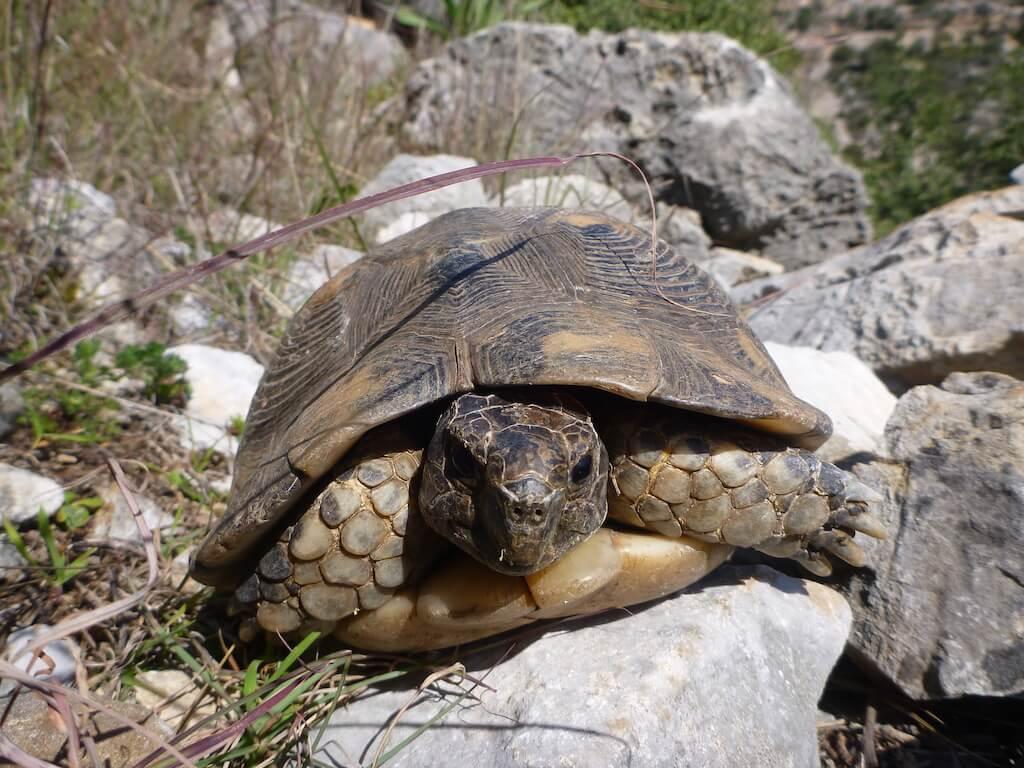 Griechische Landschildkröte in ihrer natürlichen Umgebung in Griechenland