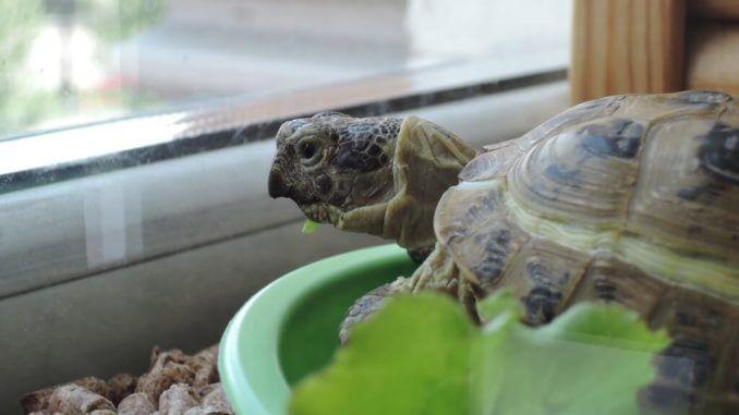 Eine Landschildkröte sitzt in ihrem Terrarium und schaut aus dem Fenster