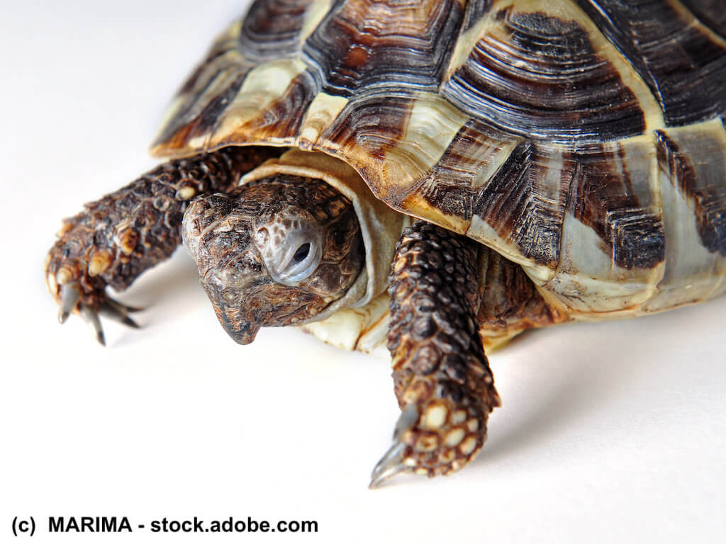 Durch Haltungsfehler kranke Schildkröte mit Hakenschnabel-Bildung auf weißem Hintergrund