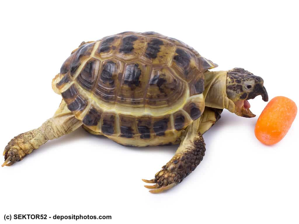 Landschildkröte frisst Karotte