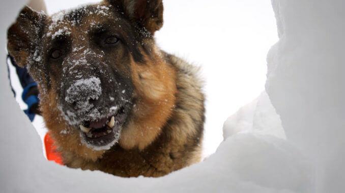 Schäferhund mit Schneenase schaut durch Loch im Schnee