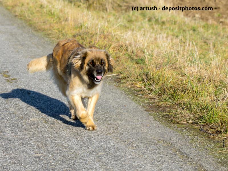 Leonberger rennt im Freien