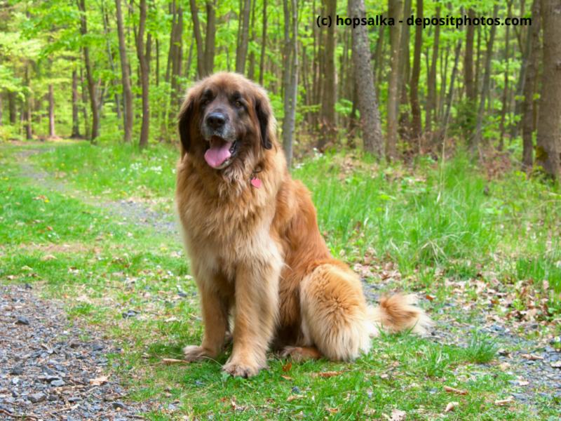 Leonberger sitzt im Wald