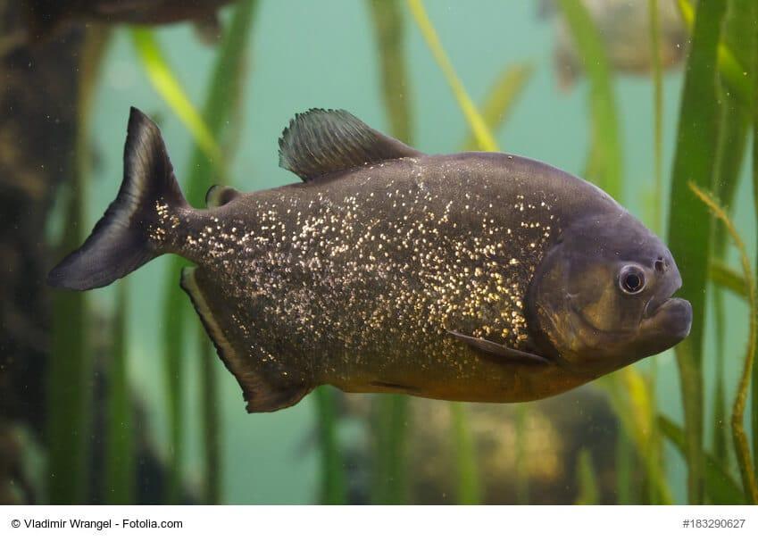 Schwarzer Piranha schwimmt durch Unterwasserpflanzen
