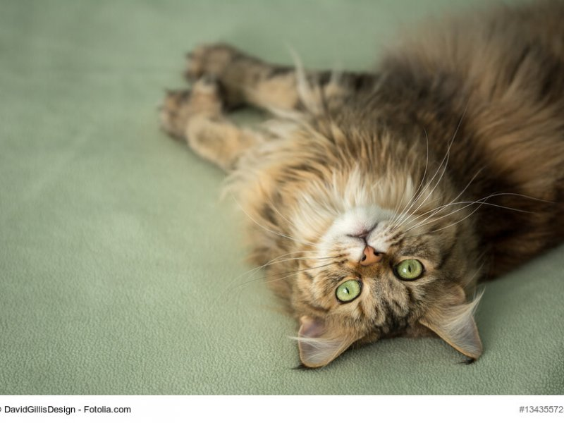 Maine Coon sind verspielte Katzen