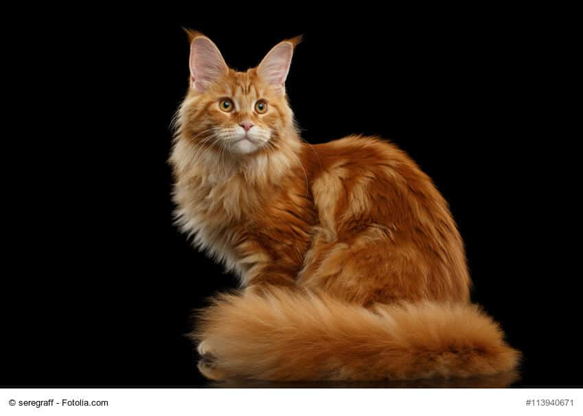 Maine Coon Steckbrief