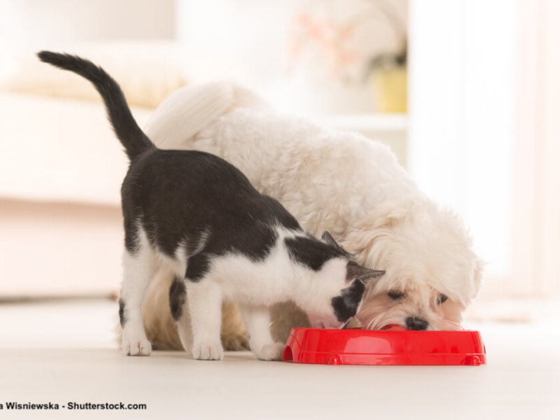 Malteser-Katze-gemeinsamer-Fressnapf