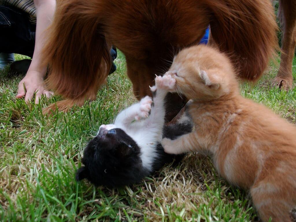 Die Massage des Bauches von Katzenkindern ist extrem wichtig