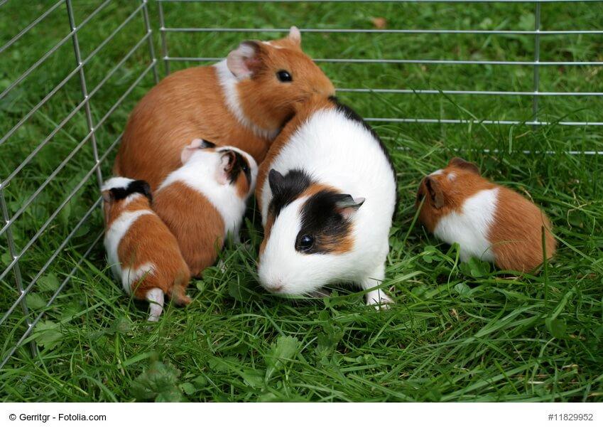 Meerschweinchen Familie im Gras