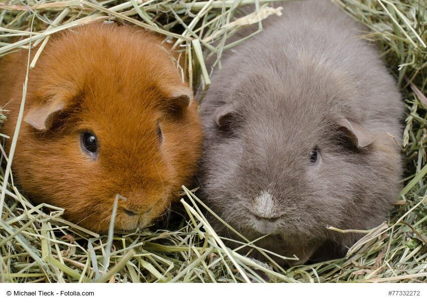 meerschweinchen ern hrung und pflege so geht 39 s haustiermagazin. Black Bedroom Furniture Sets. Home Design Ideas