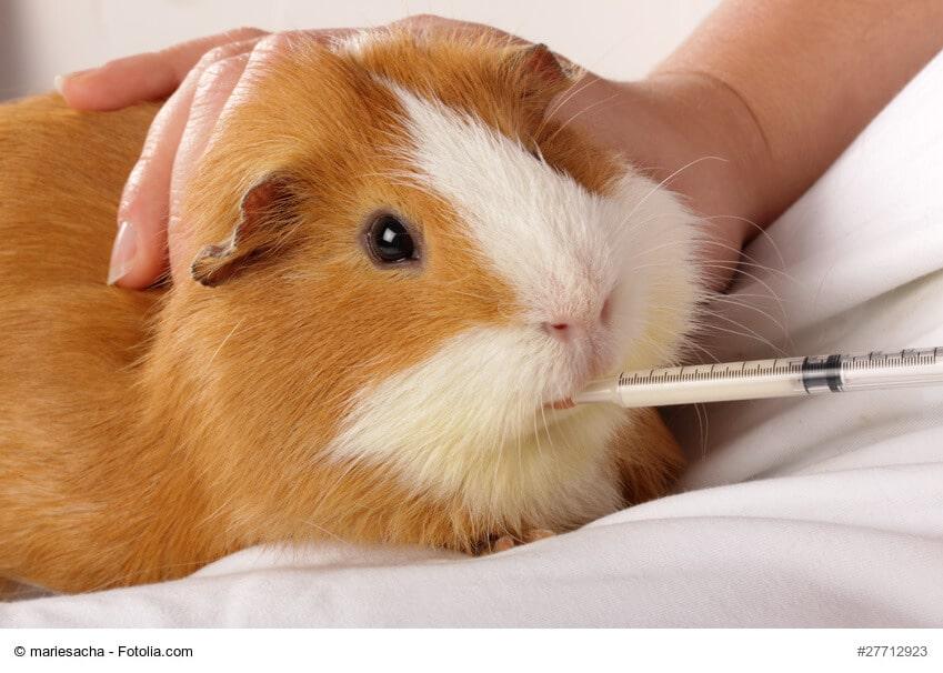 Hilfe für kranke Meerschweinchen