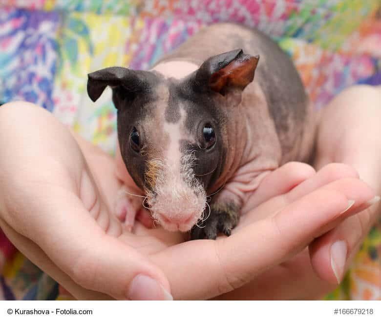 Nacktmeerschweinchen in Kinder Hand