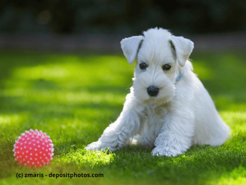 Mittelschnauzer Welpe weiß sitzt mit Ball auf dem Rasen