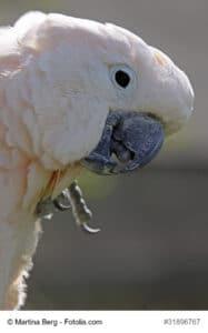 Porträt eines Molukkenkakadu mit dunklem Schnabel und hellem Augenring