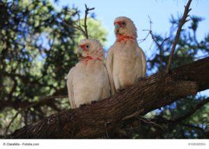 Nasenkakadu Paar auf einem Ast und Baum im Hintergrund