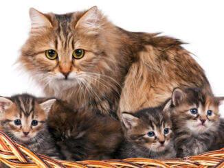Naturrassen, Katzenmama mit 3 Kitten -Norwegische Waldkatze