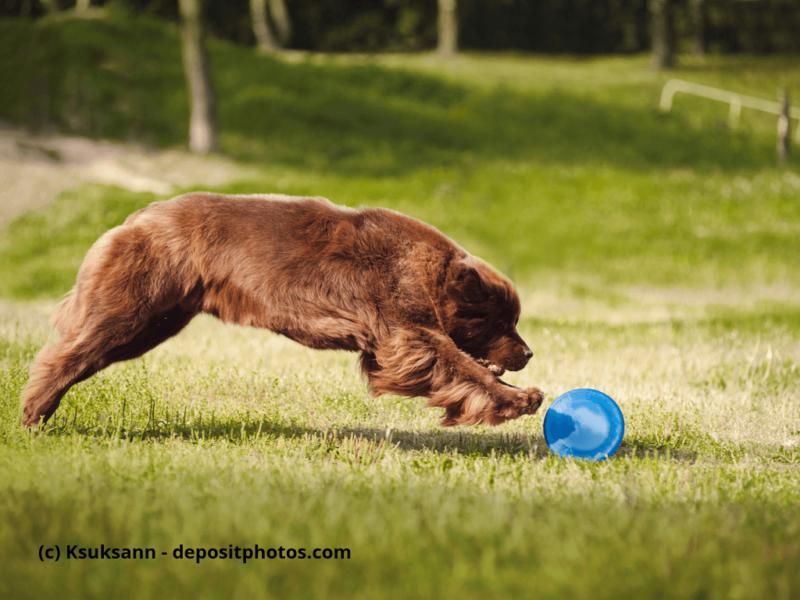 Neufundländer spielt auf Wiese mit Frisbee