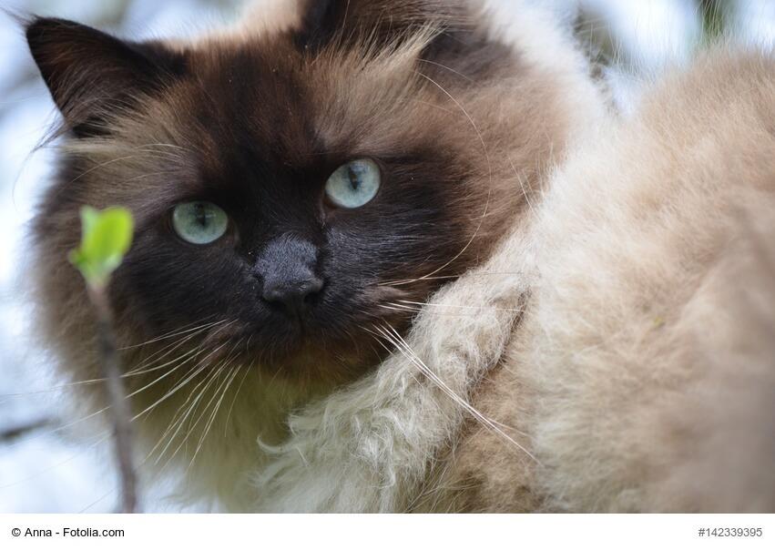 Neva Masquarade Katze in Nahaufnahme mit blauen Augen