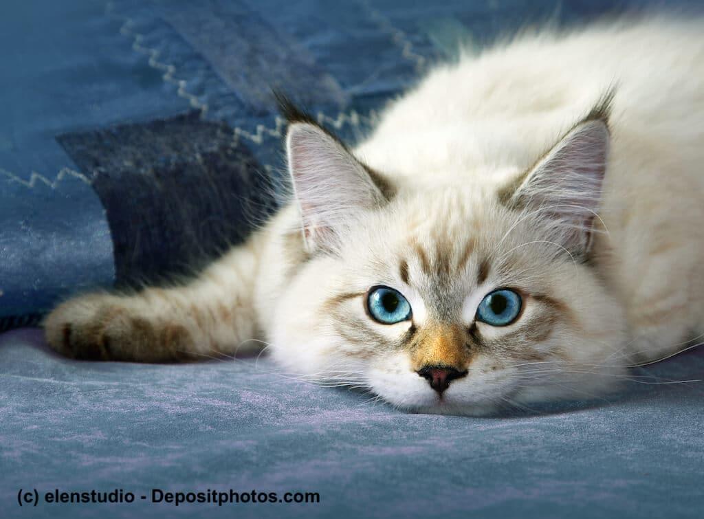 Die blauen Augen und das seidige Fell einer Neva Masquarade