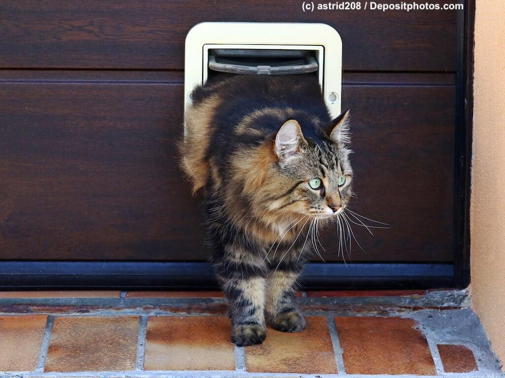 Norwegische Waldkatze auf halbem Weg nach draußen durch eine Katzenklappe in einer Holztür.