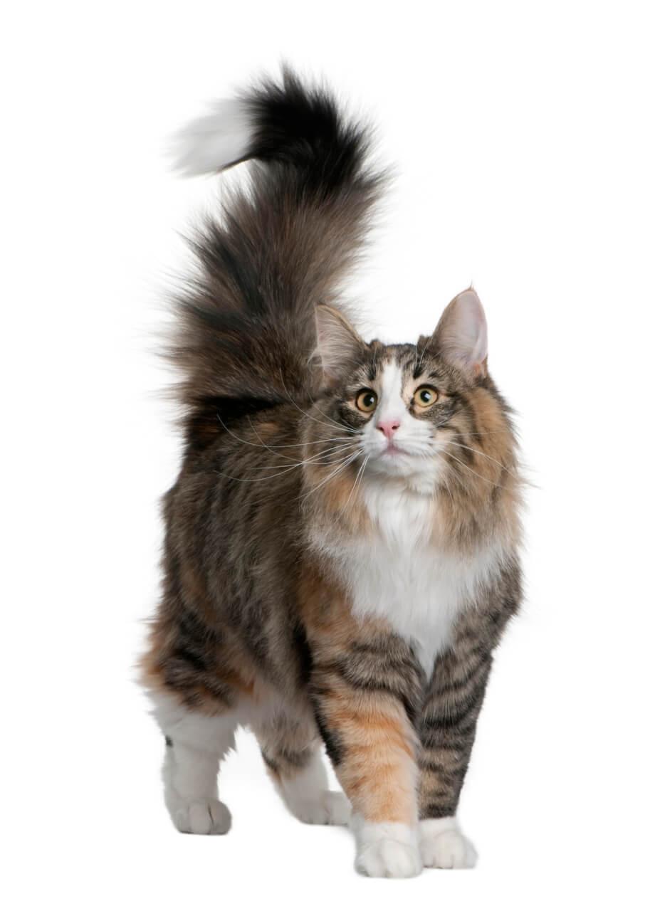 Norwegische Waldkatze Steckbrief Herkunft Wesen Und Mehr