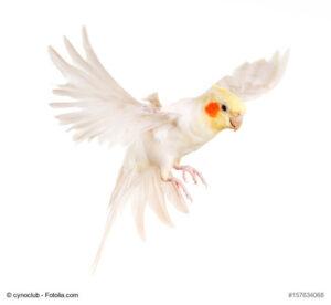 Weiblicher Nymphensittich, weißes Gefieder, gelber Kopf und orange/rote Wangenpunkte, im Flug