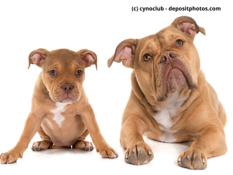 Old English Bulldog Welpe und Erwachsene vor weißem Hintergrund