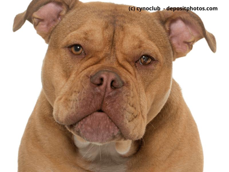 Old English Bulldog vor weißem Hintergrund