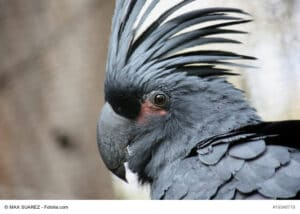 Tief schwarzer Vogel mit großem schwarzen Schnabel und schwarzer Gefiederhaube