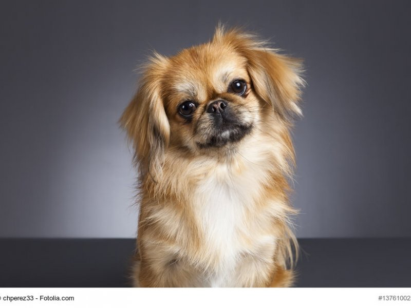 Pekinese dog portrait.