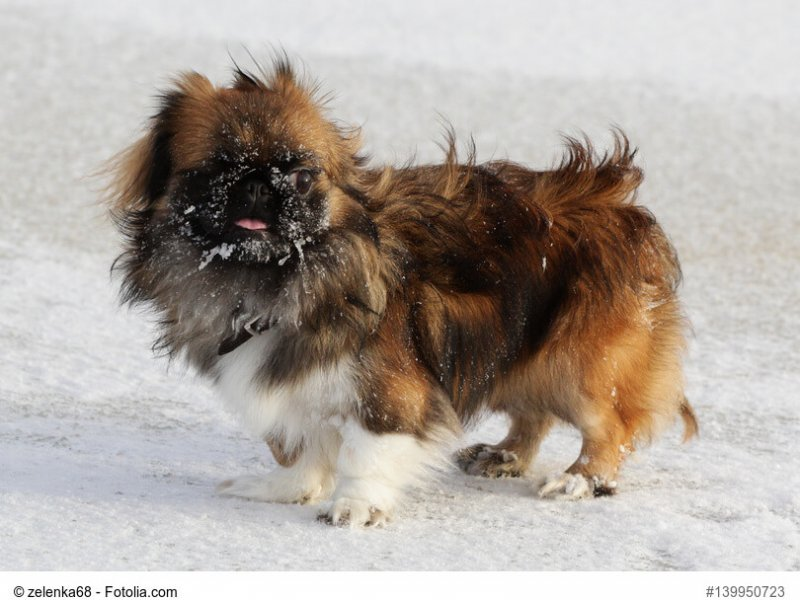 Dog Pekingese in winter on a walk