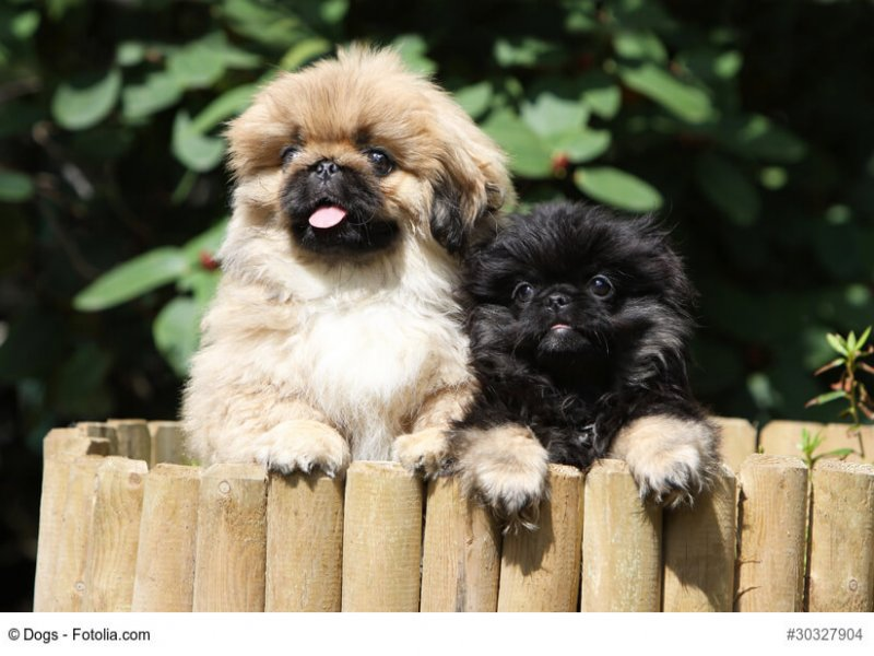 pekingese female and his baby dog
