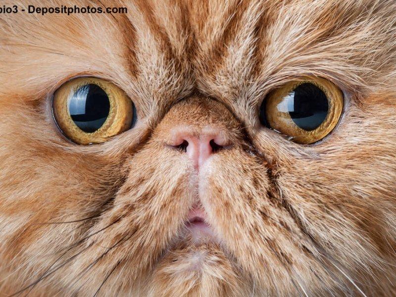 Perser mit sehr kurzer Nase