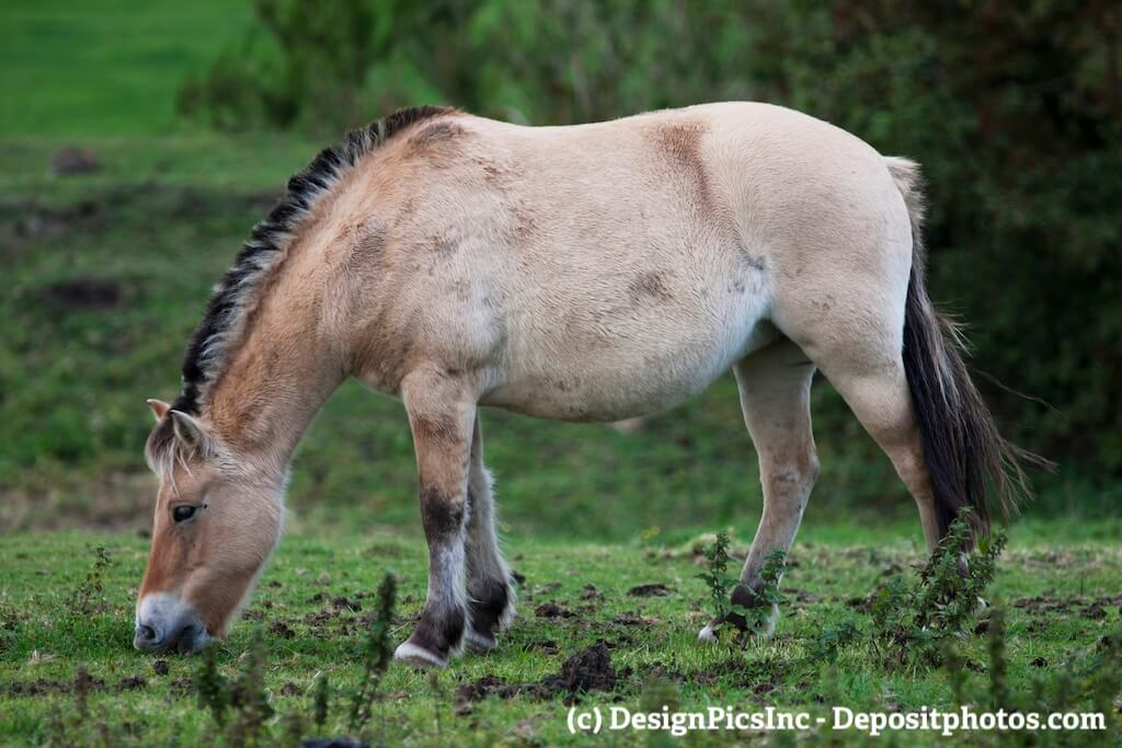 Ein grasendes Fjordpferd dessen Pferdefarbe Falbe genannt wird