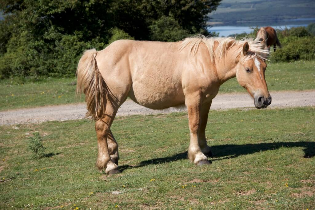 Pferdefarben ein Isabell mit kleiner Blesse auf einer Weide