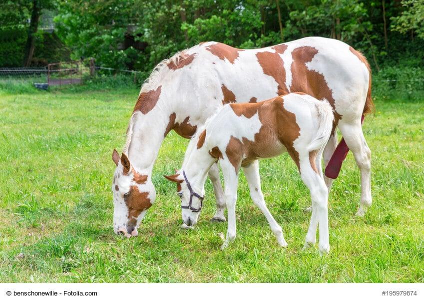 Pferdefarben Schecke Stute mit Fohlen grasen voreinander auf einer Wiese