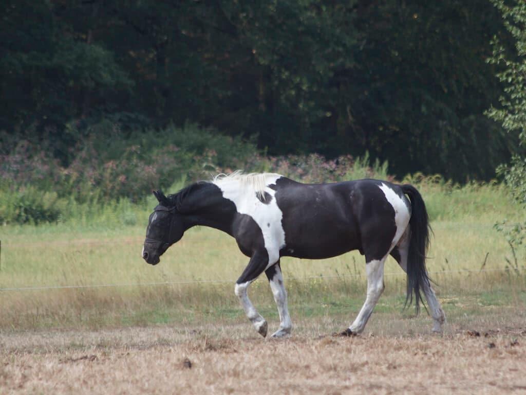 Ein schwarz-weiß geschecktes Pferd auf einer Weide
