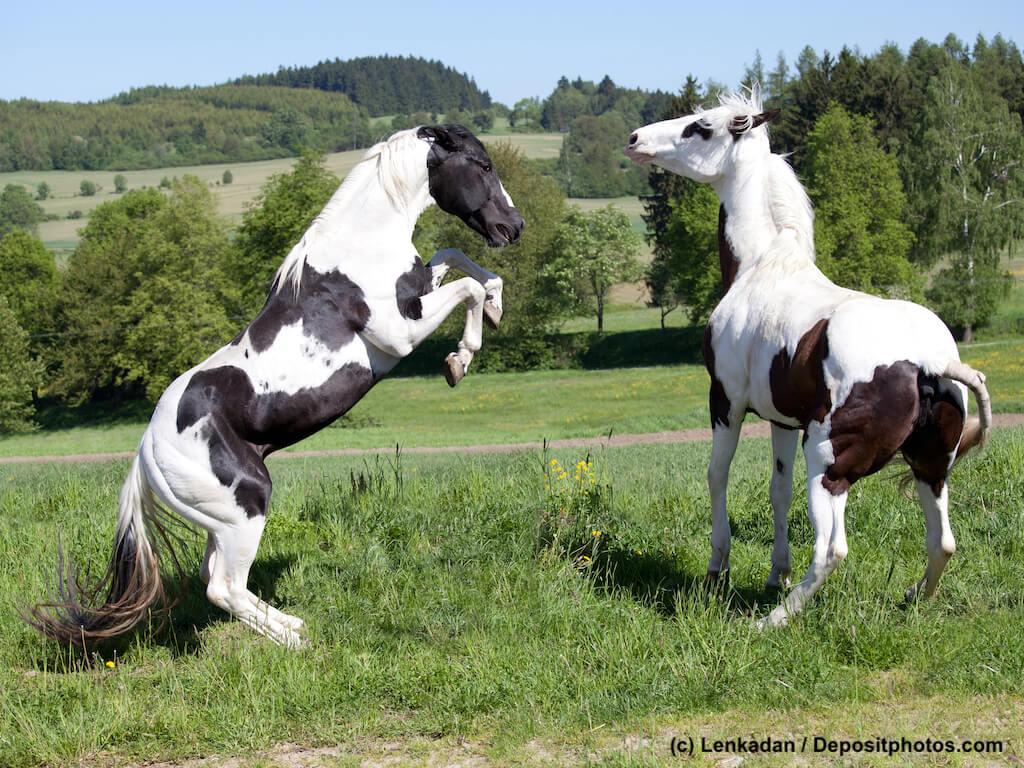 Revierkämpfe, verletztes Pferd, Versicherung