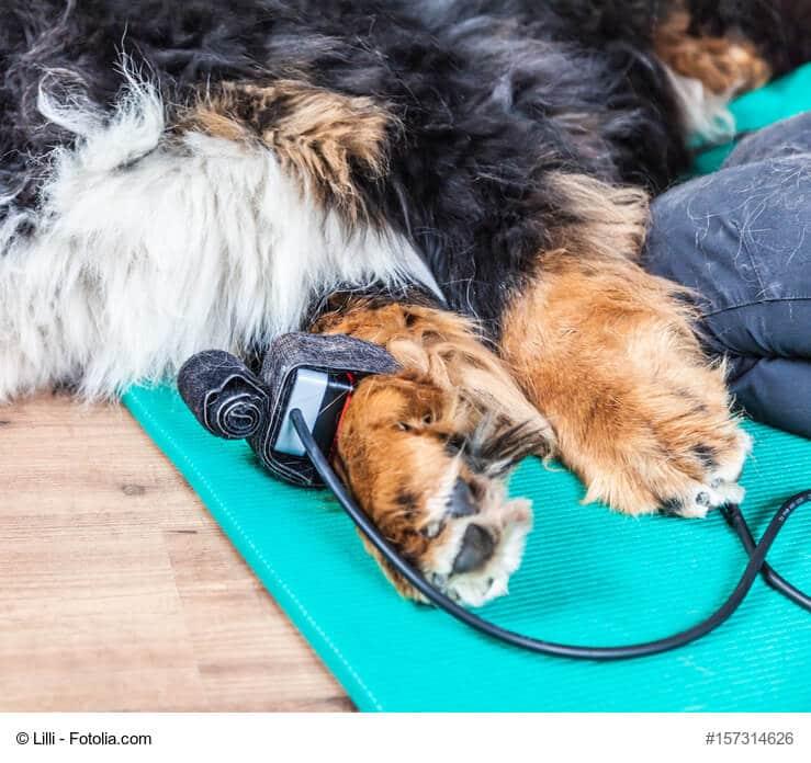 Liegender, entspannter Hund mit einem Lasergerät an den Pfoten