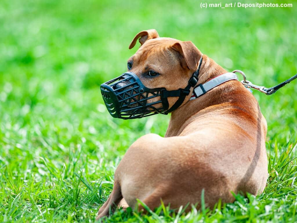 Pitbull Terrier mit Maulkorb liegt angeleint auf einer grünen Wiese