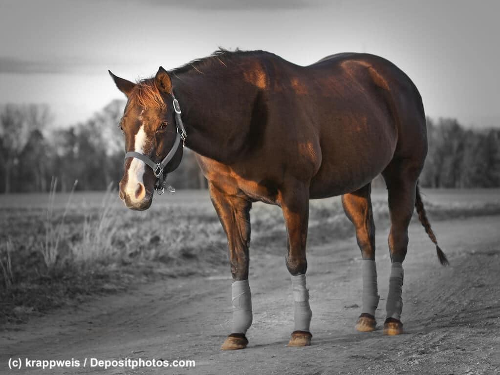 Quarter Horse Steckbrief Aussehen Und Mehr