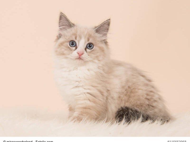 Ragdoll Kitte braun weiß