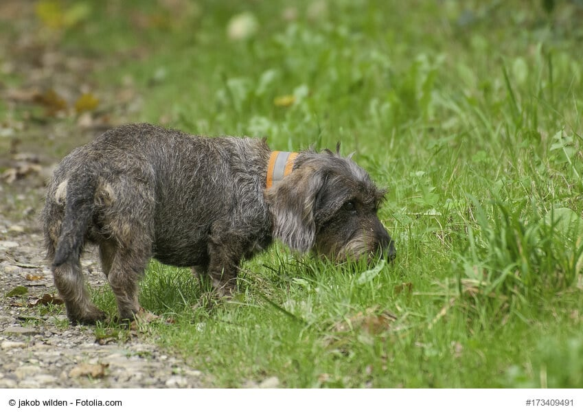 Kleiner Rauhaardackel schnüffelt im Gras