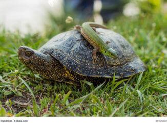 Reptilien als Haustier - Kleine, grüne Eidechse sitzt auf einer Schildkröte im Garten.