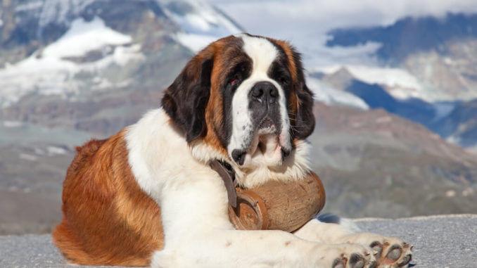 Rettungshund Bernhardiner mit Holzfässchen am Hals liegt vor Bergkulisse