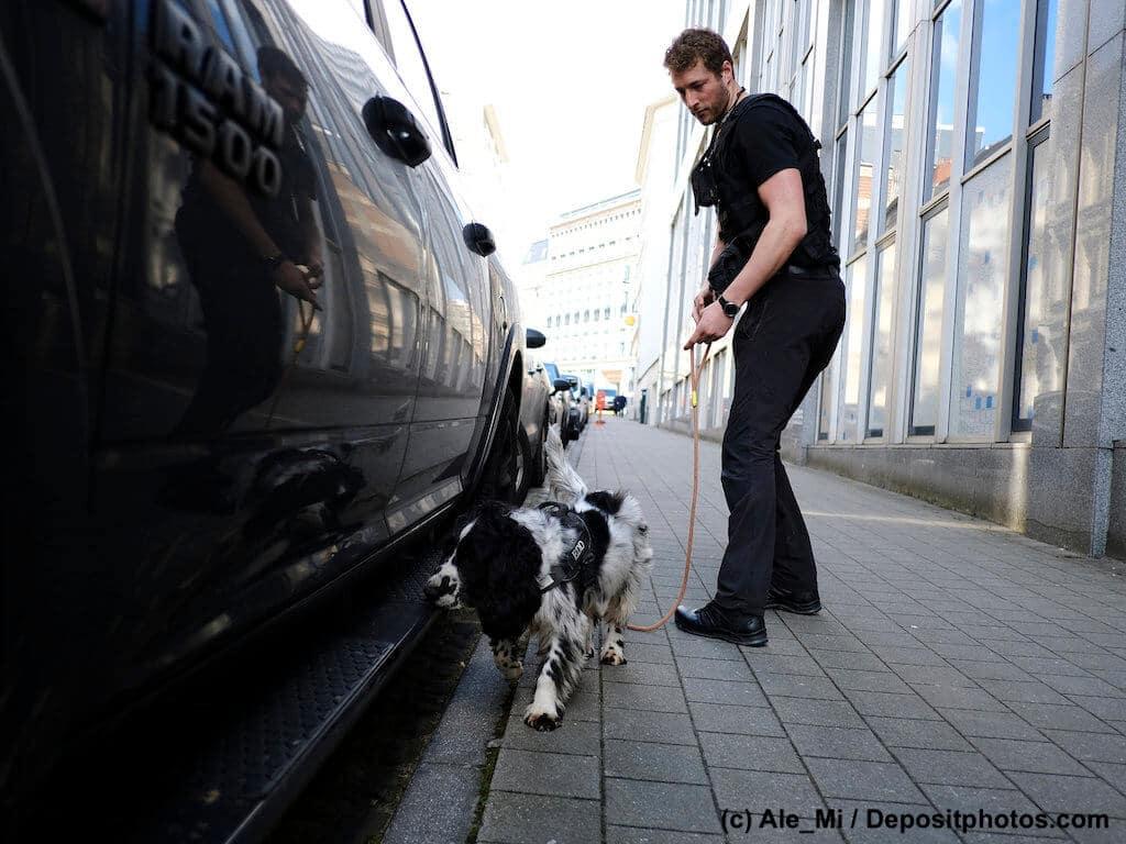 Ein schwarzweisser Hund sucht mit Polizisten Auto am Straßenrand nach Sprengstoff ab.