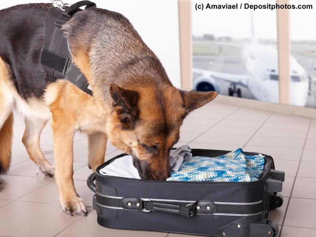 Deutscher Schäferhund mit Geschirr schnüffelt in Flughafen an offenem Koffer.