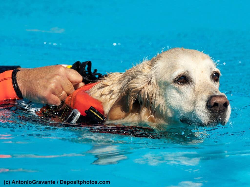 Labrador schwimmt mit Schwimmweste und zieht Person.